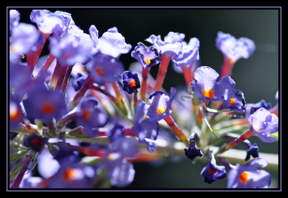 Schmetterlingsstrauch (Buddleja davidii)