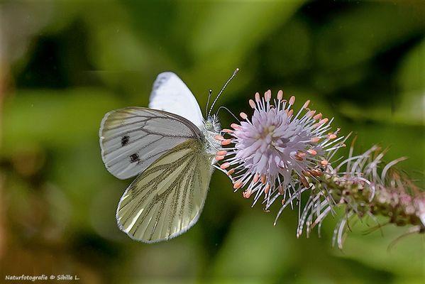 Schmetterlingstanz