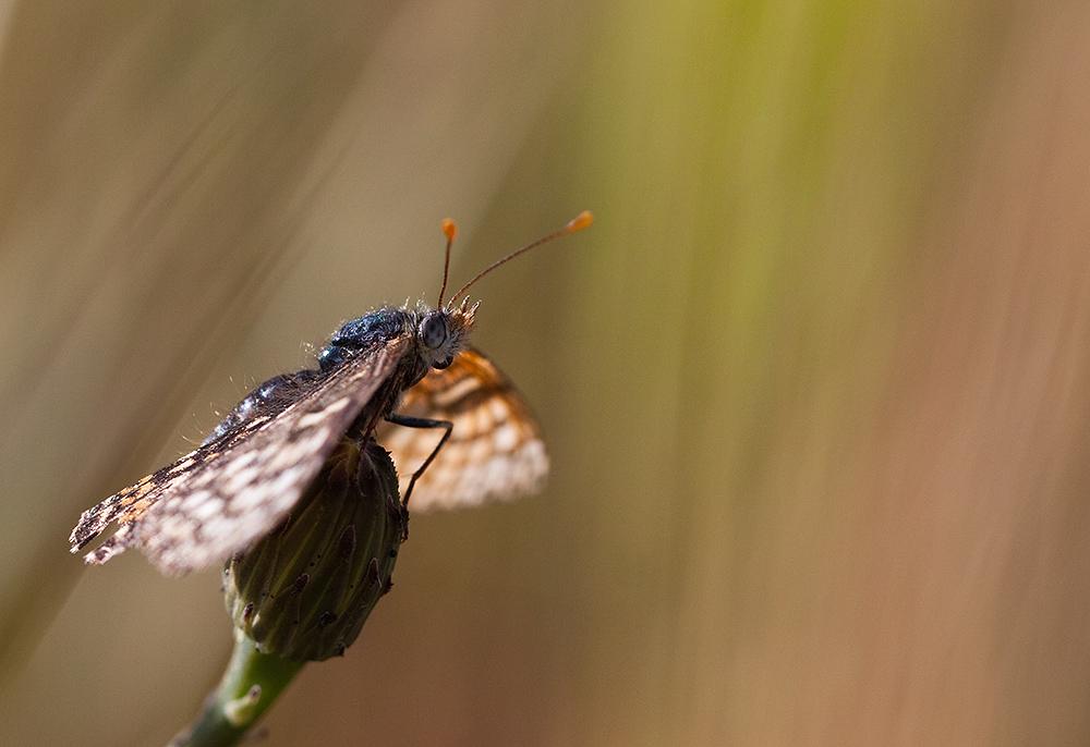 Schmetterlingstraum