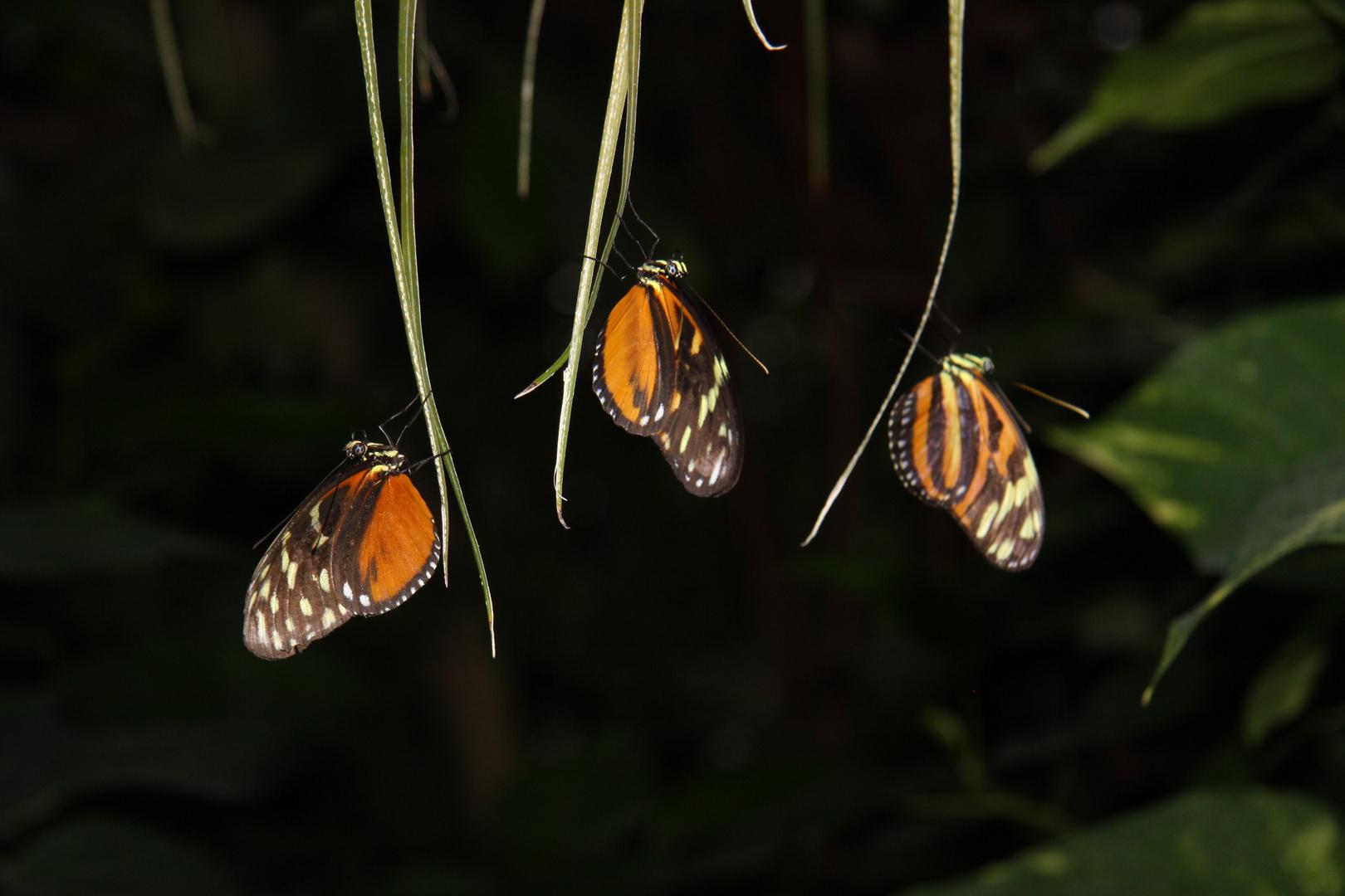 Schmetterlingstrio