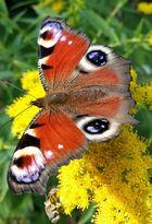 Schmetterlinsnektar