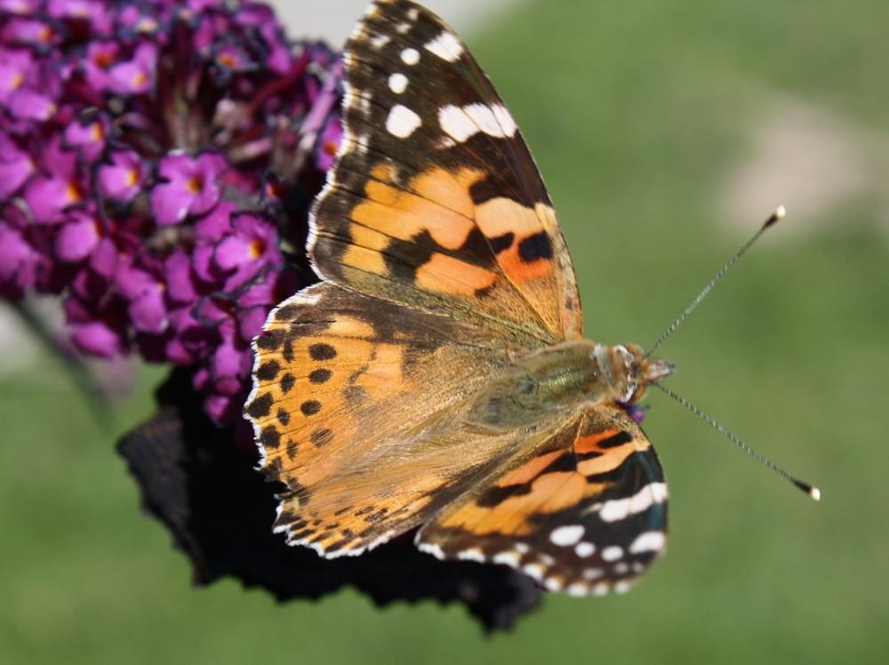 Schmetterlinsstrauch - 2