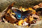 Schmetterschling