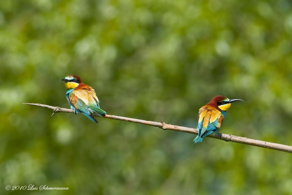Schmoll-Vögel