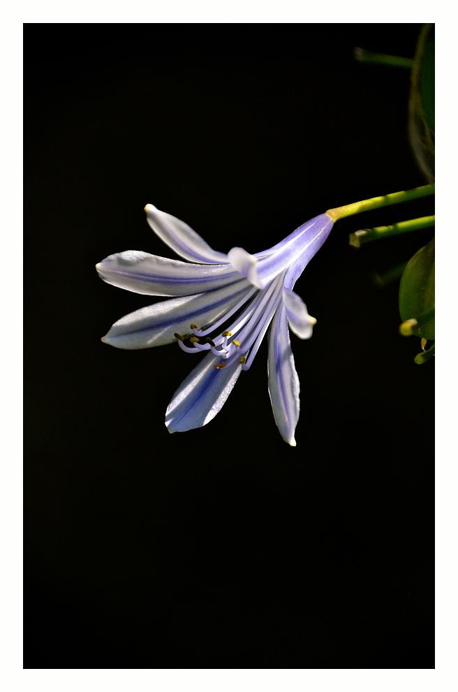 Schmucklilien - Blüte