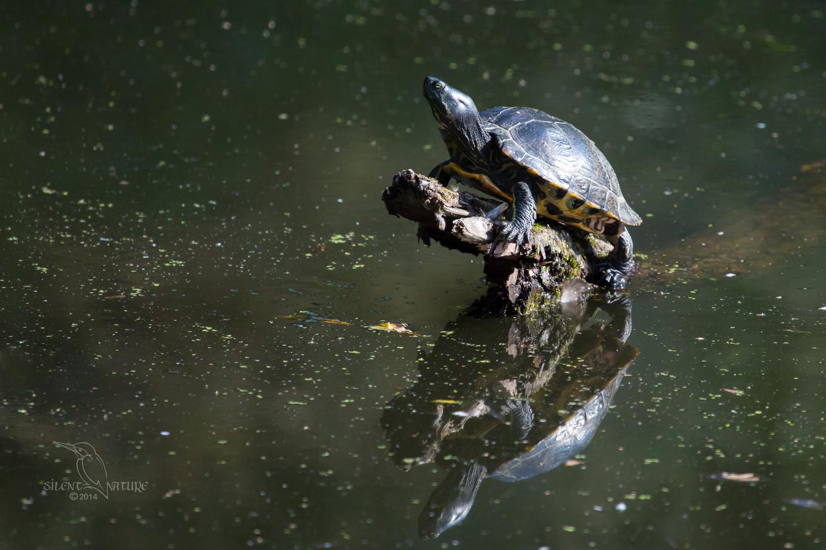 Schmuckschildkröte beim Sonnenbad