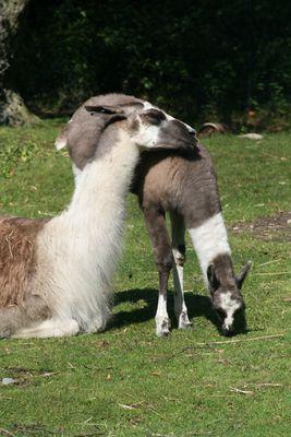 Schmusende Lamas