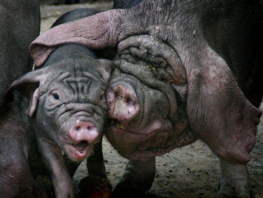 Schmusende Schweine