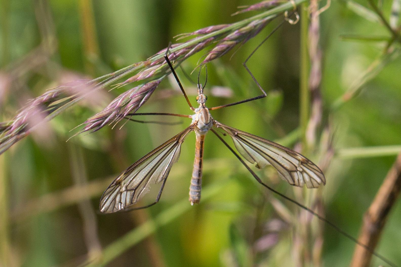 Schnake (Tipula sp.)