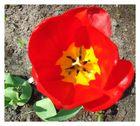 Schnapschuss einer Tulpe