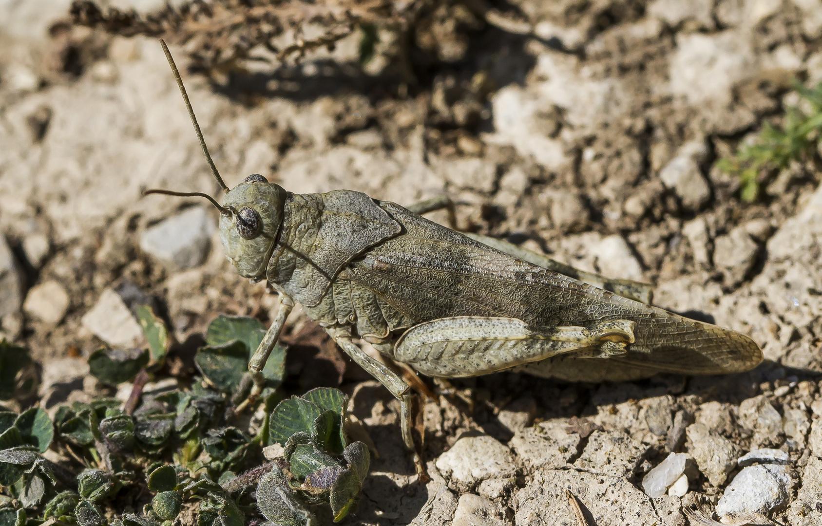 Schnarrschrecke/ Südfrankreich