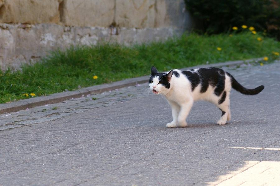 Schnatterkatze