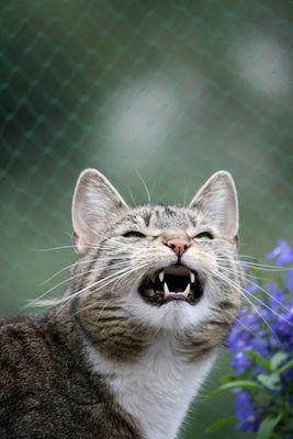 Schnatternde Katze