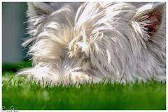 Schnauze im Gras