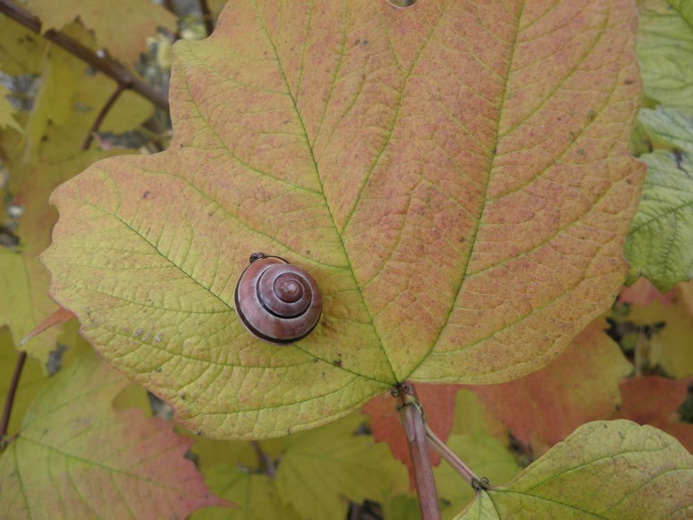 Schnecke auf Herbstblatt