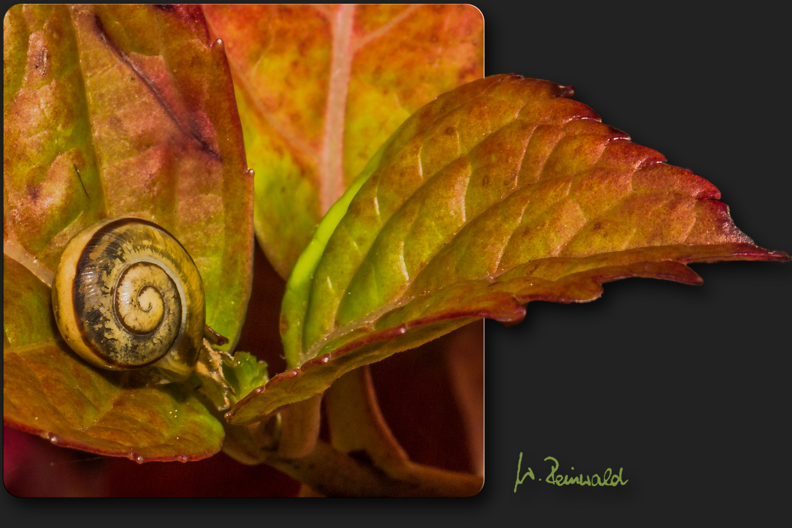 Schnecke auf Hortensienblatt