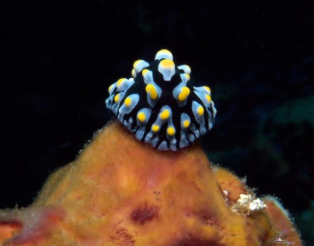 Schnecke im Roten Meer