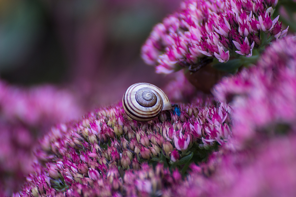 Schnecke in lila Blüten