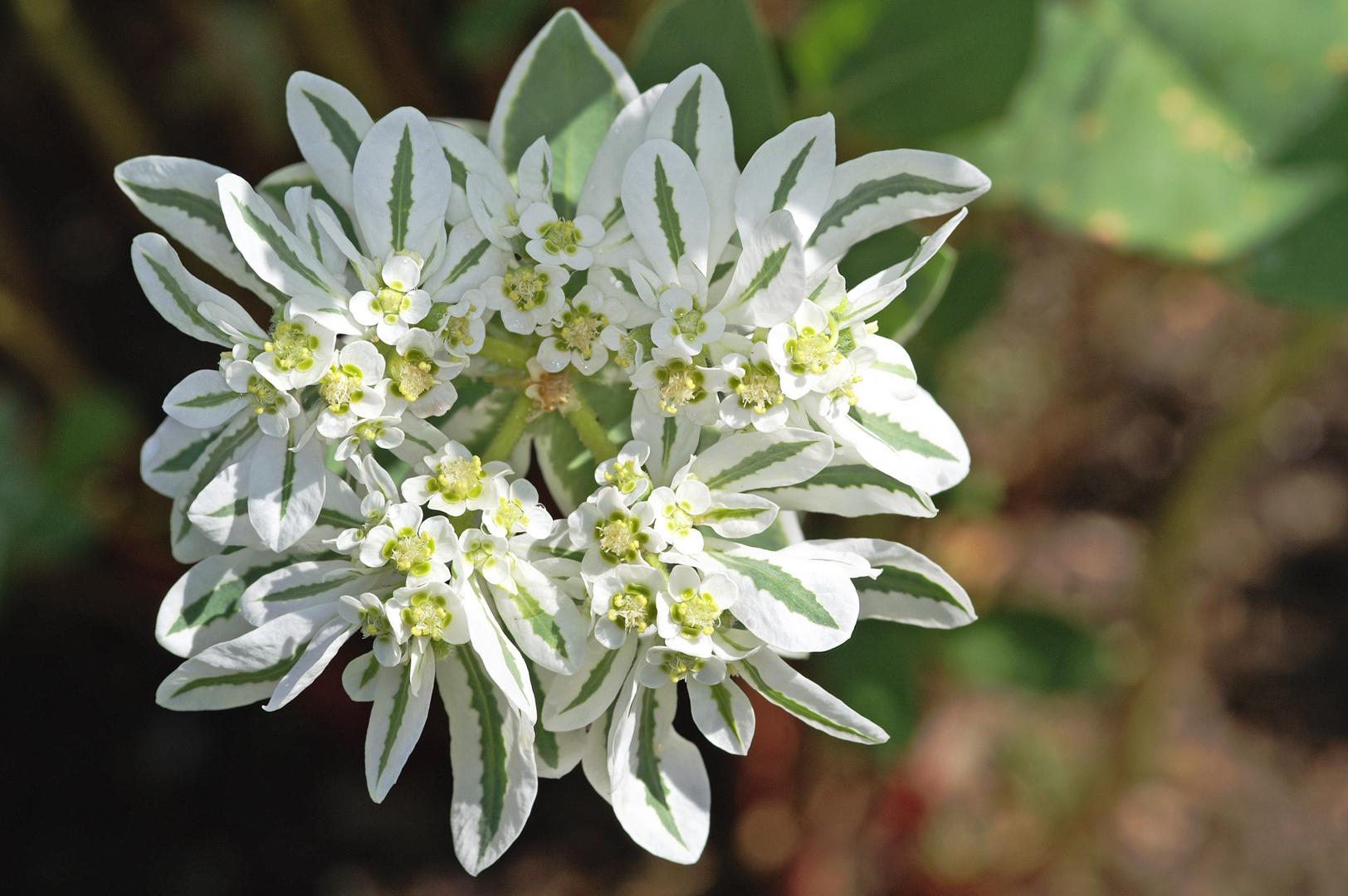 Schnee auf dem Berge (Euphorbia marginata, syn. Euphorbia variegata) 2013