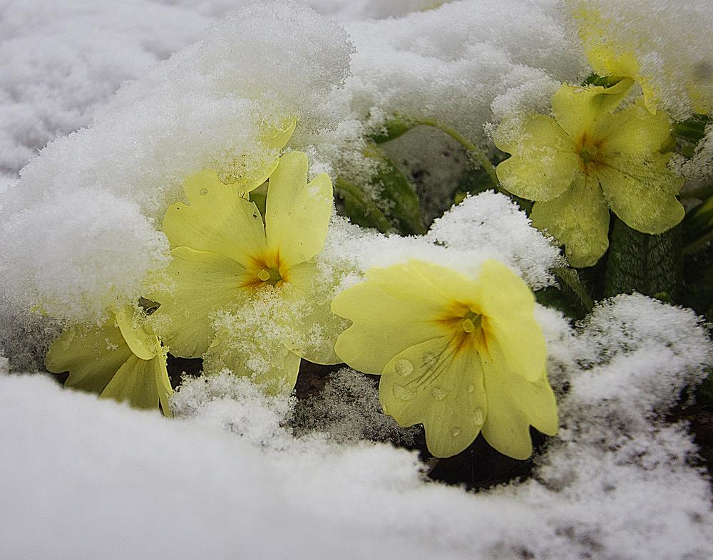 Schnee auf den Blüten