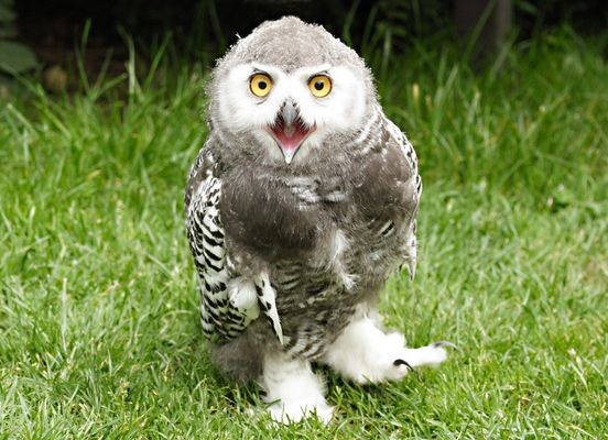 "Schnee-Eule "" Hedwig"""