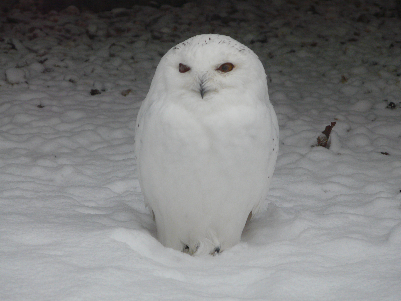Schnee Eule Perfekt getarnt