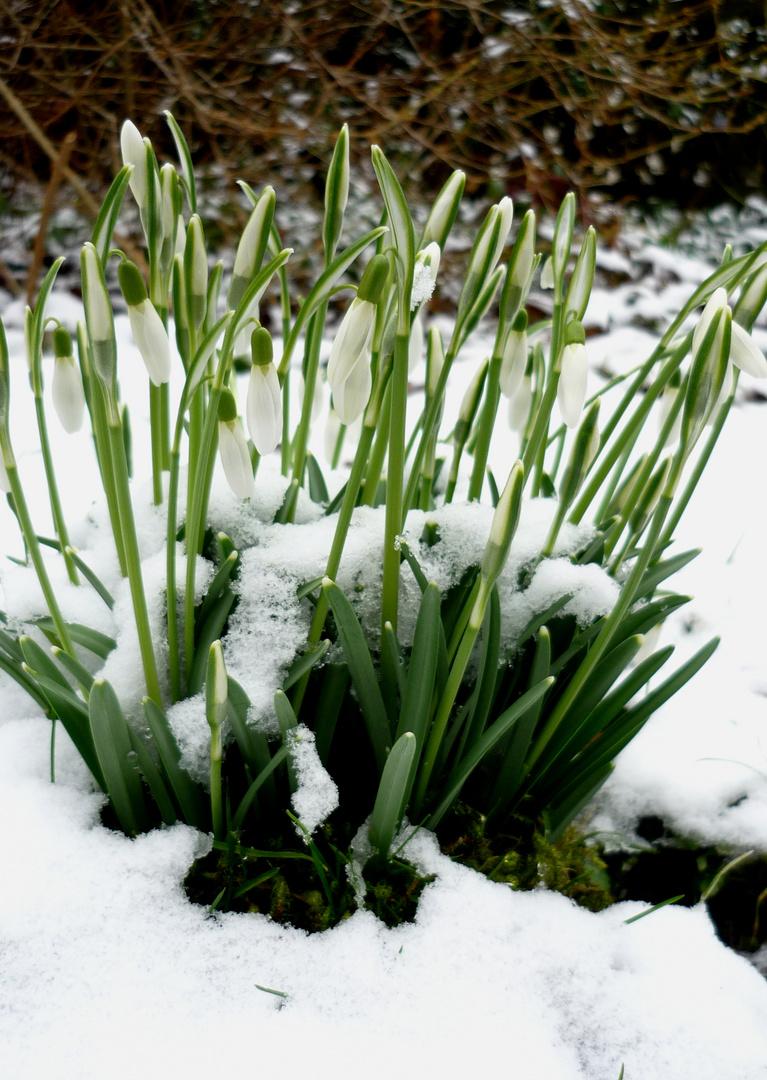 Schnee-Glöckchen