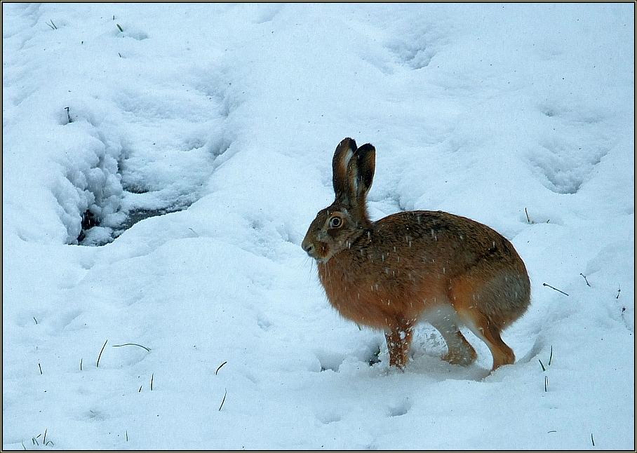 Schnee-Hase