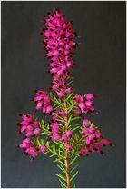 Schnee-Heide (Erica herbacea)