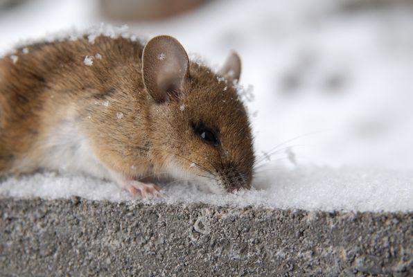 Schnee-Maus