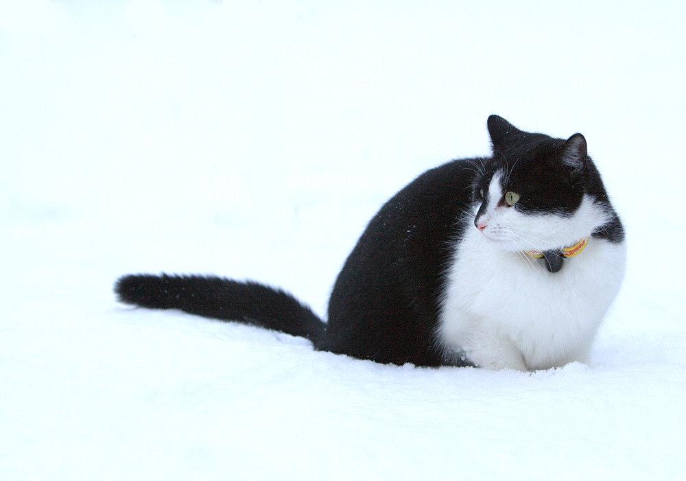 Schnee mit Katze II
