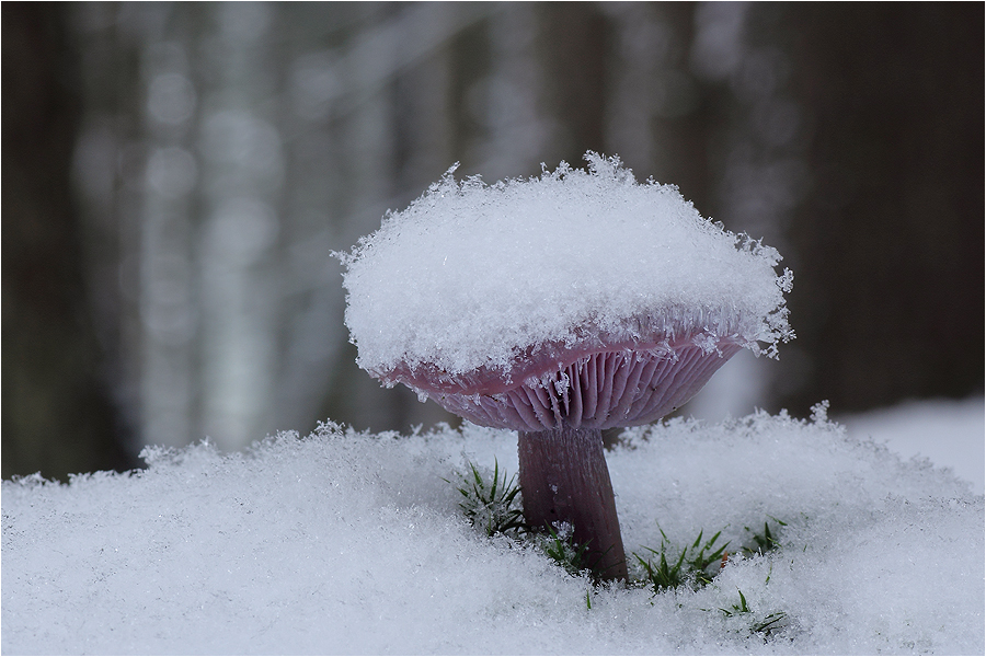 Schnee-Ritterling