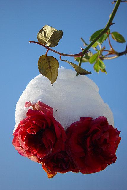 Schnee-Rosen
