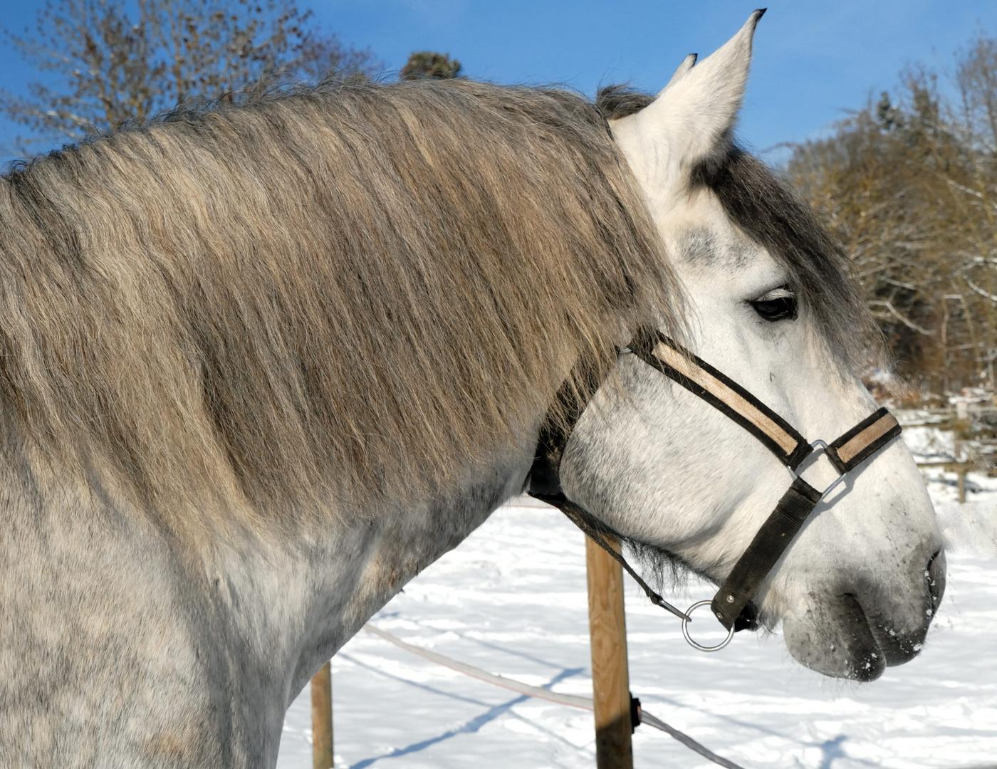 Schnee, Sonne, blauer Himmel und ein schönes Pferd...