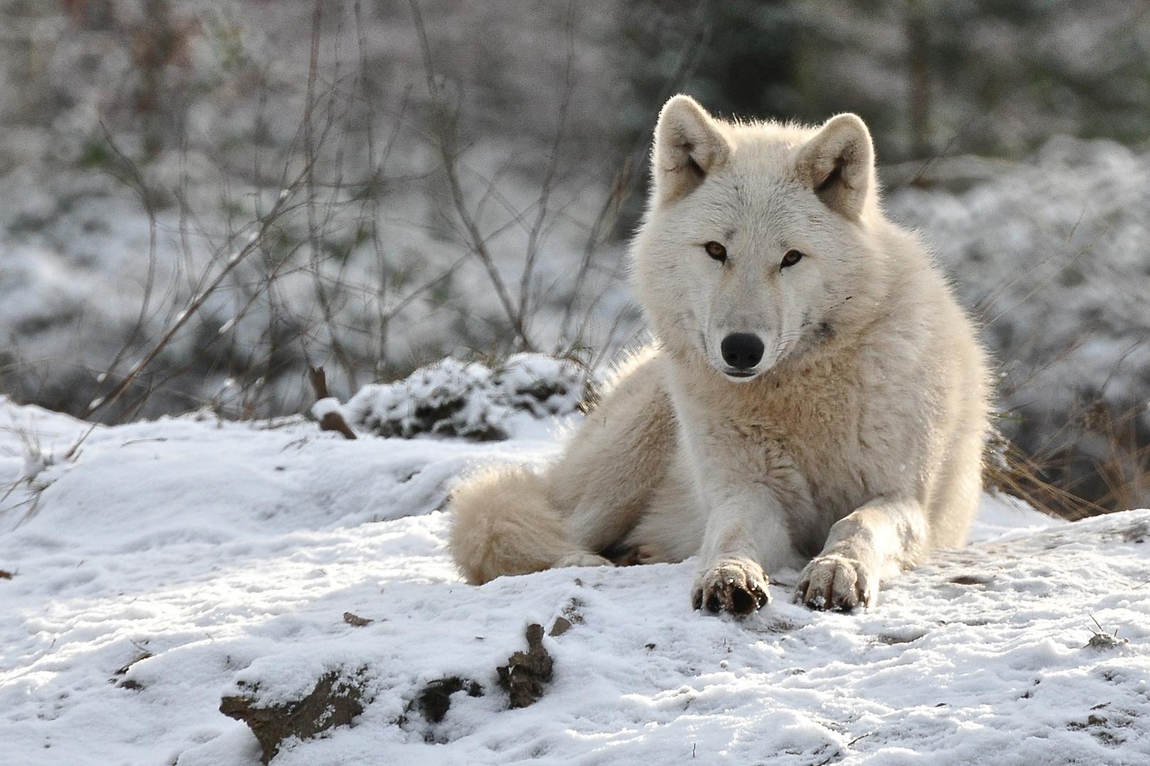 schnee wolf foto bild tiere zoo wildpark falknerei s ugetiere bilder auf fotocommunity. Black Bedroom Furniture Sets. Home Design Ideas