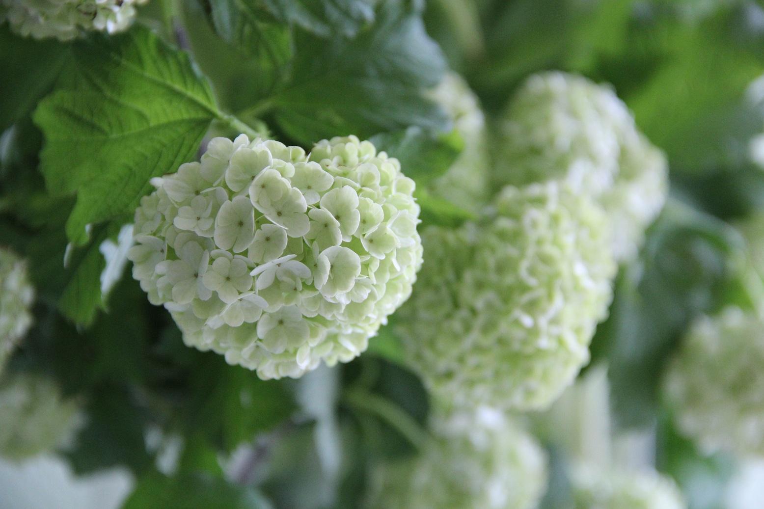 Schneeball - Blüttenzauber