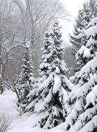 Schneebedeckte Serbische Fichten