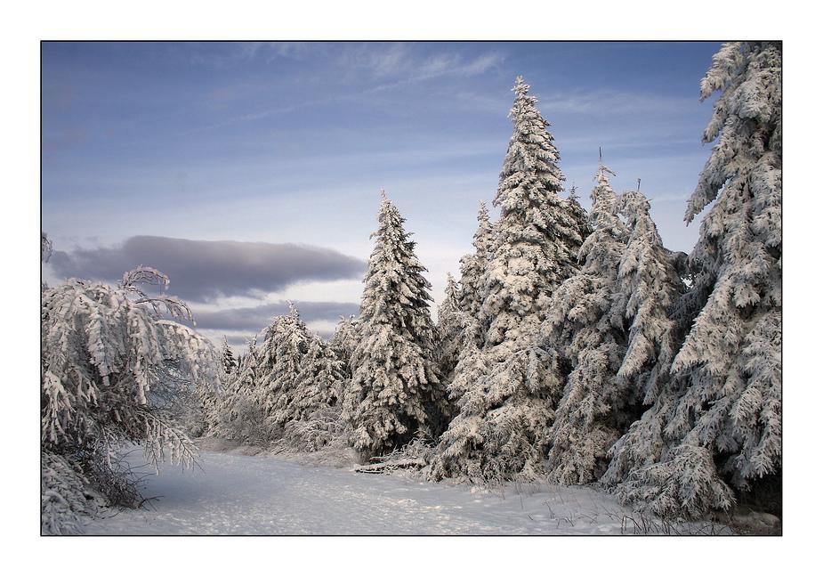 Schneebedeckte Tannen