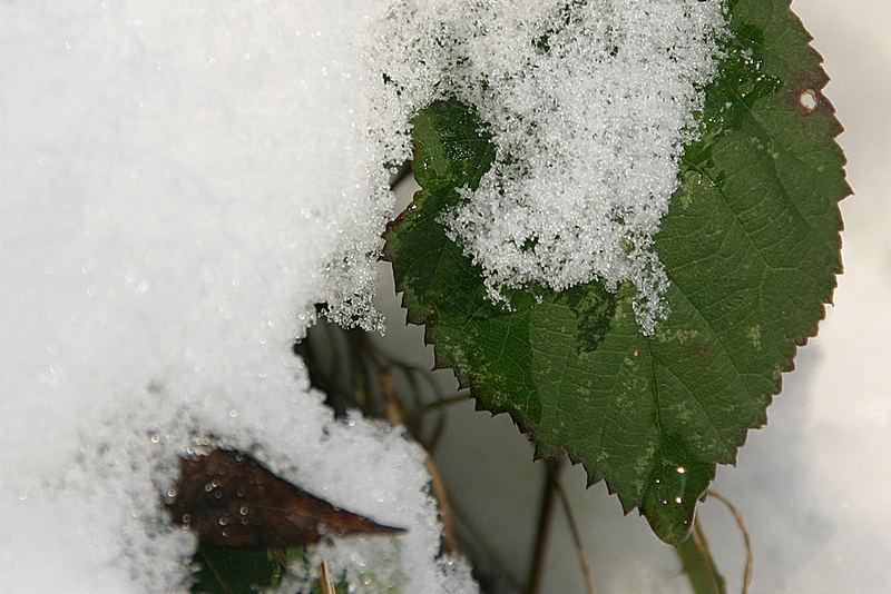 Schneeblatt