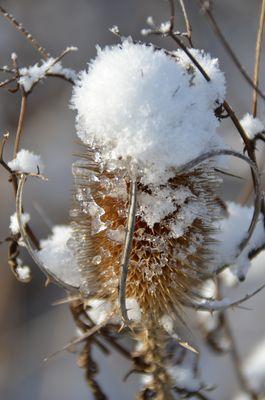 Schneedistel