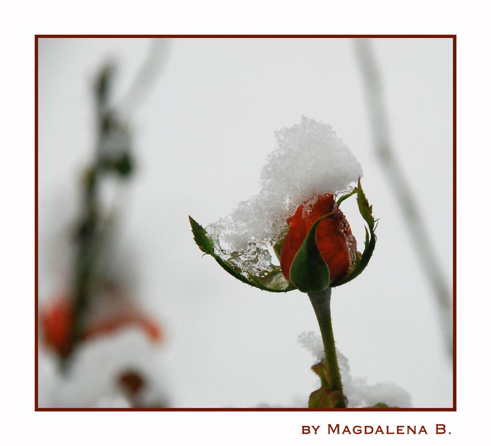 schneeeee auf roseeeee