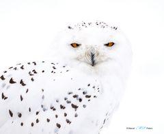 Schneeeule -c-