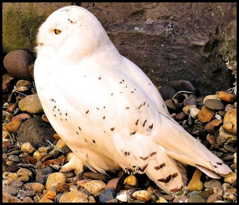 Schneeeule Hedwig vom Zauberlehrling Harry Potter !