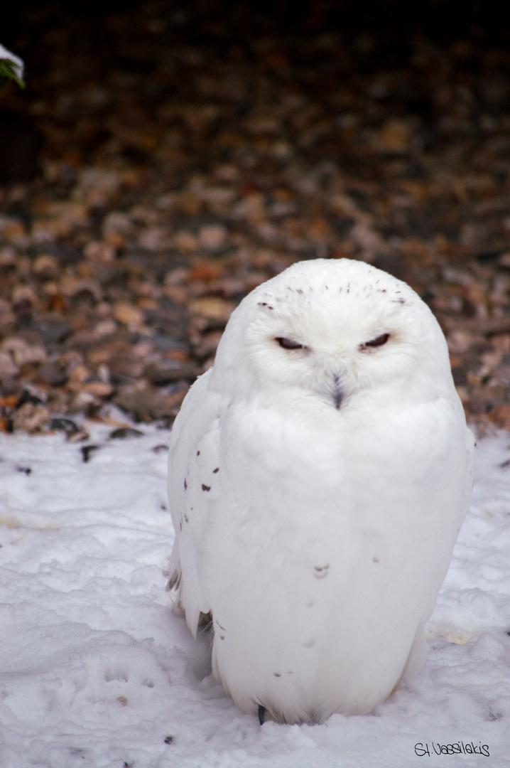 """Schneeeule mit bösem Blick """"verzieh dich!"""""""