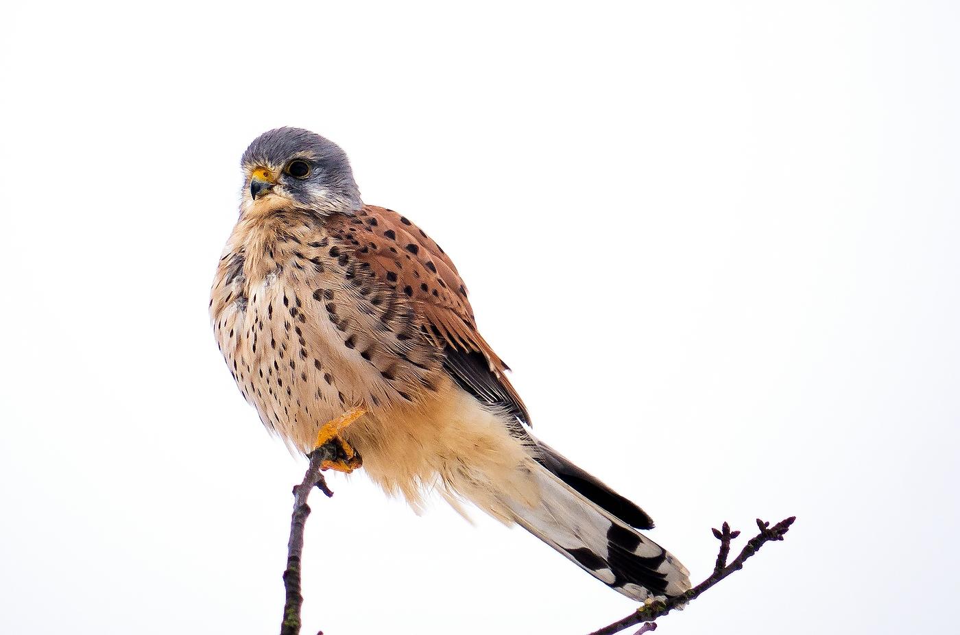 Schneefall-Falke