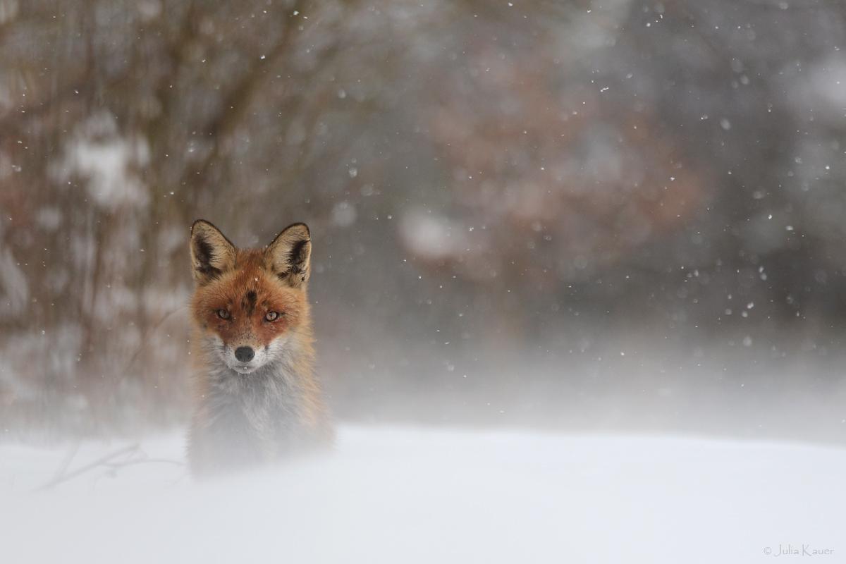 ~Schneefuchs~