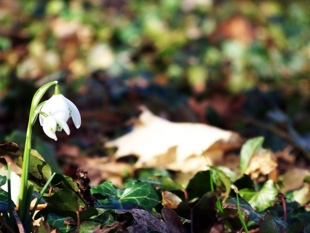 schneegl ckchen foto bild pflanzen pilze flechten pflanzen im winter natur bilder auf. Black Bedroom Furniture Sets. Home Design Ideas