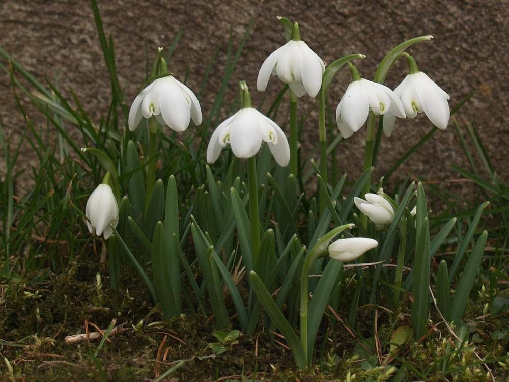 Schneeglöckchen - bote Frühlings, für Anke