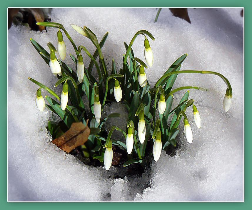 Schneeglöckchen - erste Boten des Frühlings