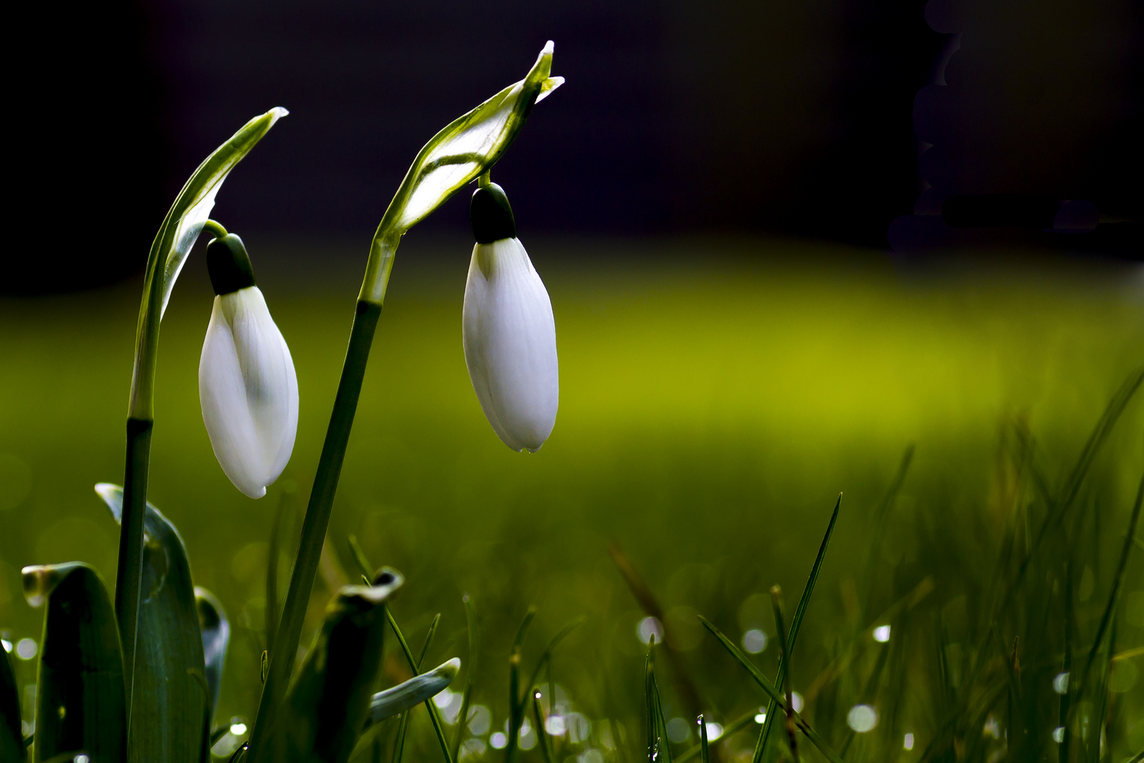 schneegl ckchen im februar foto bild pflanzen pilze flechten pflanzen im winter natur. Black Bedroom Furniture Sets. Home Design Ideas